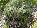 Darwinia chapmanniana (habit).jpg