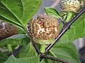 Datura metel Ballerina fruit— Scott Zona 001.jpg