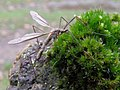 Dead crane fly on a mossy post, Hollands Wood, New Forest - geograph.org.uk - 265900.jpg