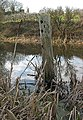 Decaying tree stump in the canal - geograph.org.uk - 670205.jpg