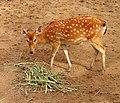 Deer - panoramio (18).jpg