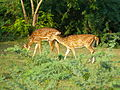Deer of IIT Madras masatran 0058 0010.jpeg