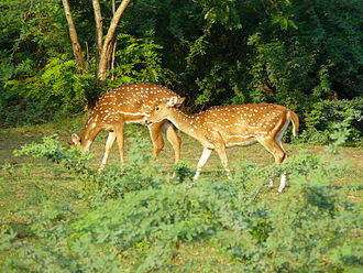 Indian Institute of Technology Madras - Deer at IIT Madras, in the open ground between SAC and the stadium