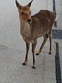 Deer of Miyajima 5.jpg