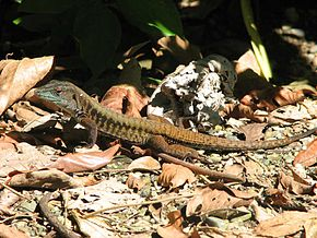 Description de l'image Delicate Ameiva, Costa Rica.jpg.