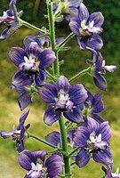 Delphinium staphisagria 3.jpg