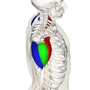 Deltoid muscle - Side.