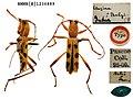 Demonax balyi (Pascoe, 1859) (Cerambycidae Clytini) (10157788733).jpg