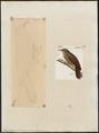 Dendrocincla turdina - 1700-1880 - Print - Iconographia Zoologica - Special Collections University of Amsterdam - UBA01 IZ19200279.tif