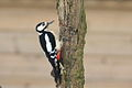 Dendrocopos major -near Rutland Water, Rutland, England-8.jpg