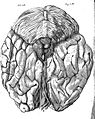 Descartes; view of posterior of brain Wellcome L0008518.jpg