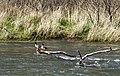 Deschutes Wild and Scenic River (26216426014).jpg