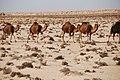 Deserto Libico - Carovana di Dromedari liberi nel deserto - panoramio.jpg