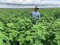 Desmanthus cultivar JCU 4 56 days after planting.jpg