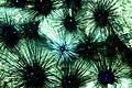 Diadem urchins.jpg