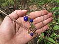 Dianella ensifolia Mada02.jpg