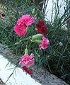 Dianthus caryophyllus Γαρίφαλλο.JPG
