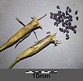 Dianthus deltoides sl16.jpg