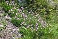 Dianthus hyssopifolius in PNR Pyrenees ariegeoises 08.jpg