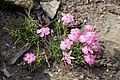 Dianthus pavonius kz02.jpg