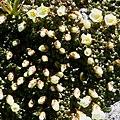 Diapensia lapponica (bud).jpg