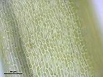 Dicranum flexicaule (a, 141118-472329) 0372.JPG