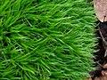 Dicranum scoparium 111515727.jpg