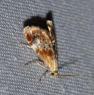 <i>Dicymolomia julianalis</i> species of insect