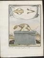 Didelphis philander - skelet - 1700-1880 - Print - Iconographia Zoologica - Special Collections University of Amsterdam - UBA01 IZ20300132.tif