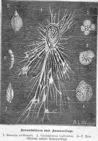 Gromiidea - Gromia (1) and some foraminiferans (2-7)