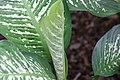 Dieffenbachia maculata Rudolph Roehrs 0zz.jpg