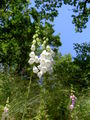 Digitalis-stora hultrum.sweden-10.jpg