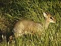 Dikdik, de kleinste van de antilopen (6693819095).jpg