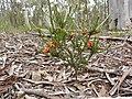 Dillwynia sericea 1.jpg