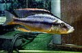 Dimidiochromis compressiceps femelle 02.jpg