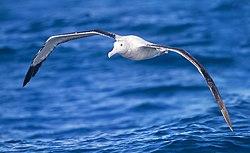 Albatros hurleur, en vol, au dessus de l'océan Antarctique
