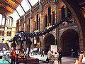 Diplodocus NHM.JPG