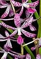 Dipodium ensifolium - cropped.jpg