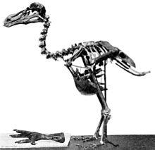 Scheletro di Dodo