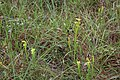 Doerun Pitcherplant Bog yellow flytrap 2.jpg