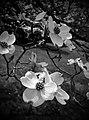Dogwood Tree - Flickr - SurFeRGiRL30.jpg