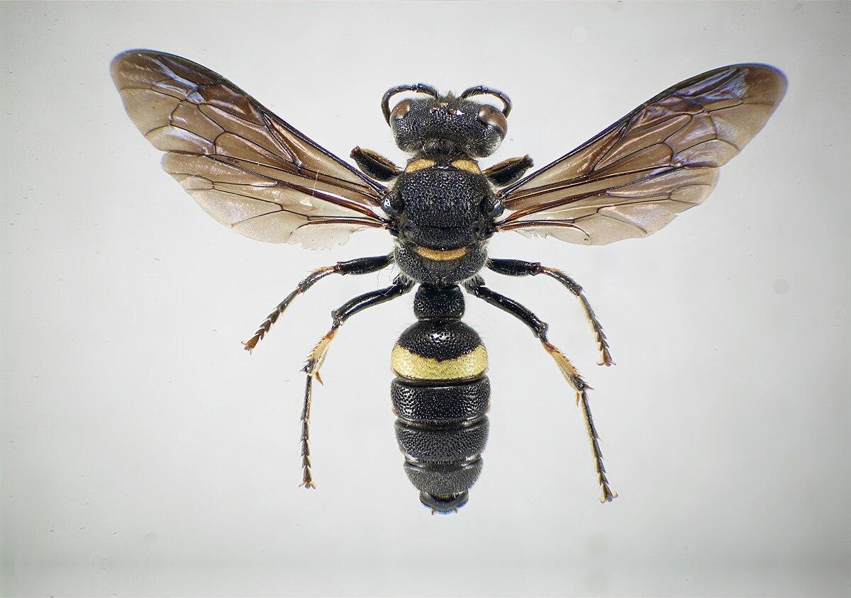 Types of black wasps - photo#40