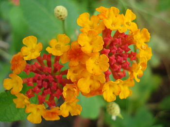 Double coloured Lantana.JPG