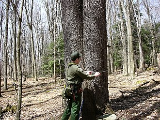 Tree measurement - A double-trunked cherry tree