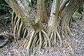 Dracaena marginata 18zz.jpg
