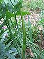 Dracunculus vulgaris bud.jpg