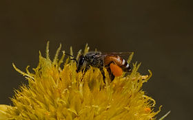 Drawf Honey Bee (India).jpg