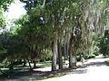 Drexel Park Eastern Red Cedar.JPG