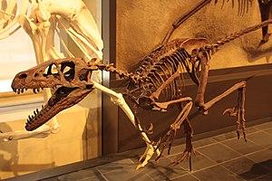 Dromaeosaurus - Reconstructed skeleton, Canadian Museum of Nature