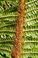 Dryopteris affinis kz2.jpg